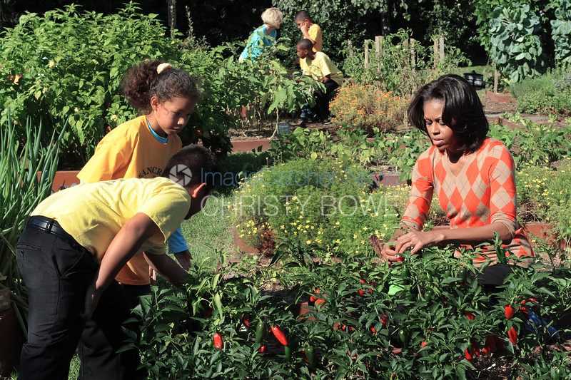 First Lady Michelle Obama works with children in the White House Garden harvesting the vegetables.
