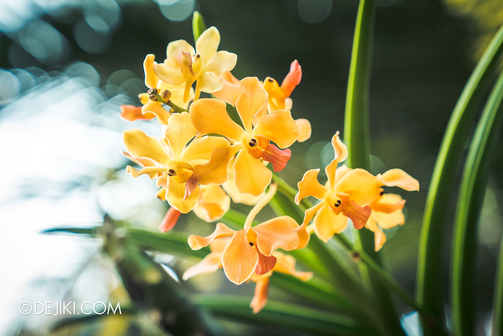 Gardens by the Bay - Orchid Extravaganza 2018 / Ochre Pure