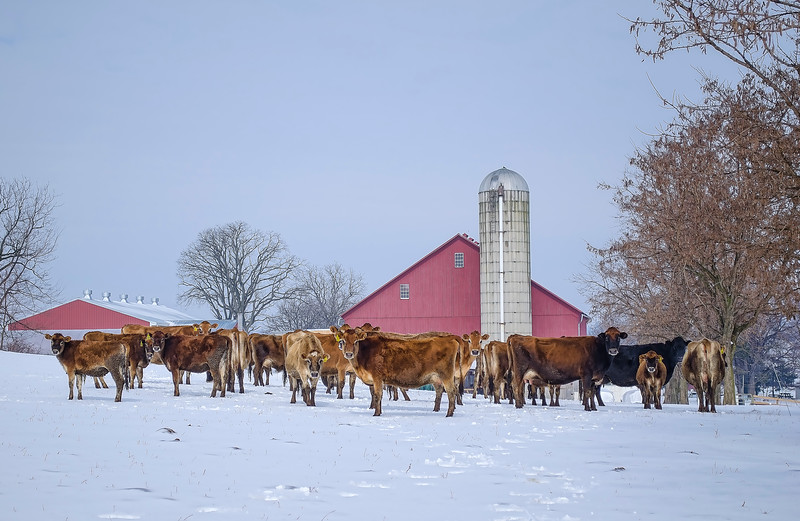 216 snow - cows along eby road(p).jpg