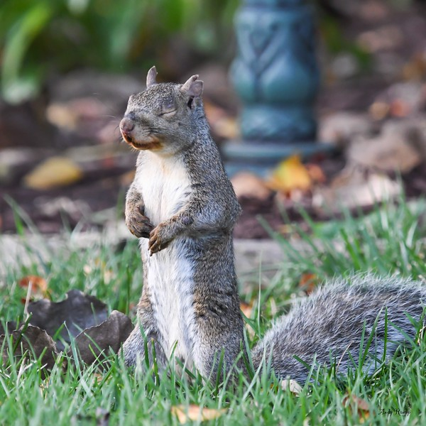 Gray squirrel blinking
