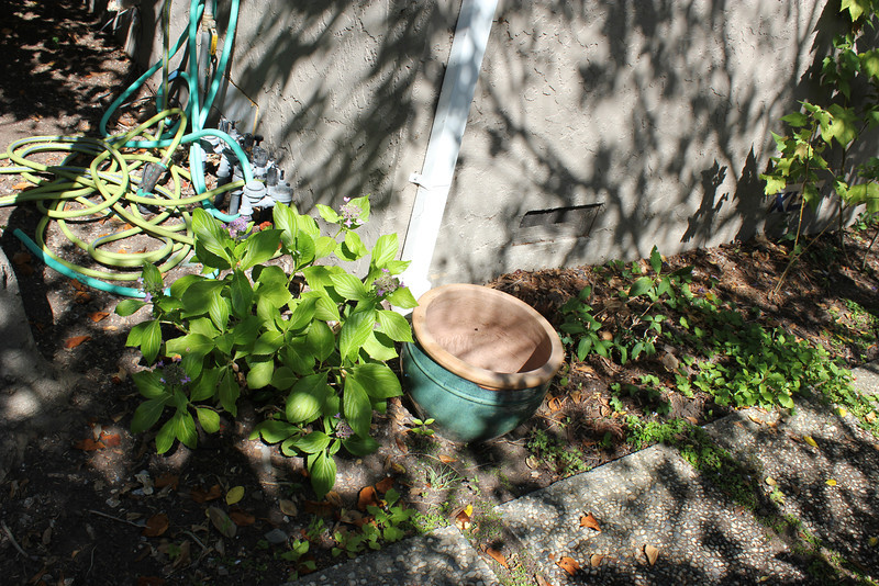 Healthy Izo-No-Hana on the left and sickly one on the right of the green pot. (Yes, the hose is unsightly and I need to pull weeds)