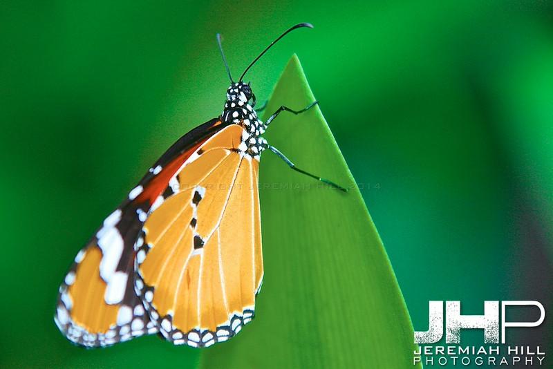 """Butterfly in Green"", Ko Phan Ngan, Thailand, 2007 Print TH-192"