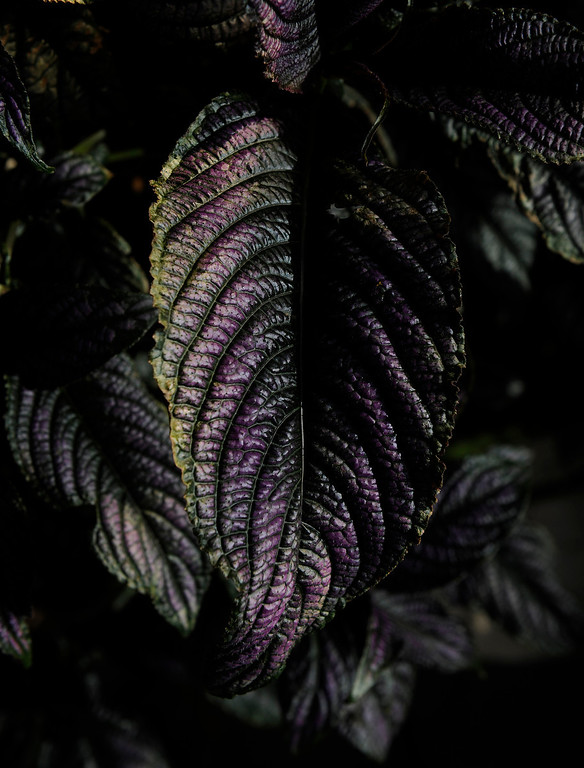""". The dark, nearly-black leaves of a coleus add drama to Trimpa\'s garden. Despite his rural memories, he never thought he\'d have a garden because he didn\'t want a yard. \""""I\'m allergic to grass and swore I\'d never mow again.\"""" (Cyrus McCrimmon, The Denver Post)"""