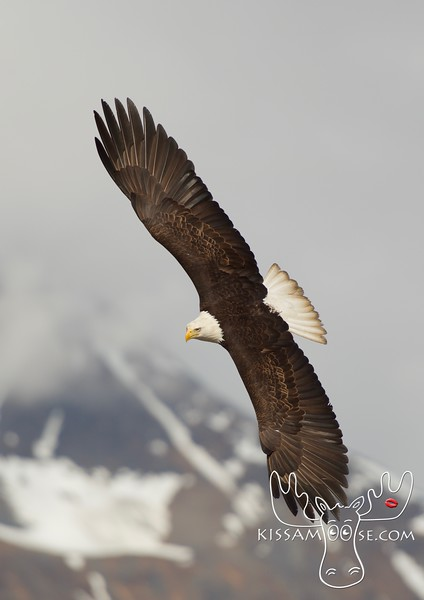 Bald Eagle, Valdez, AK