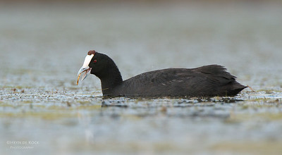 Red-knobbed Coot (Fulica cristata)