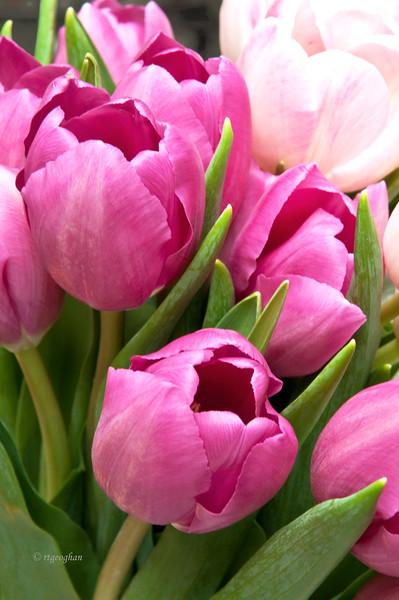 Pink Tulips_Mar23_0440.jpg
