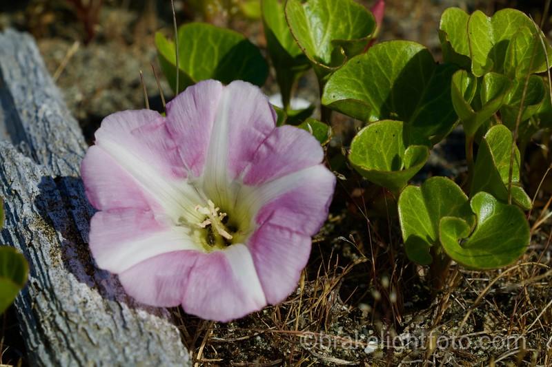 Beach Bindweed - Convolvulus soldanella