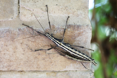 Stick Insect (Phasmatodea)