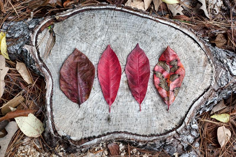 2011-11-12 Hickory Hollow Leaves on stump 6452.jpg