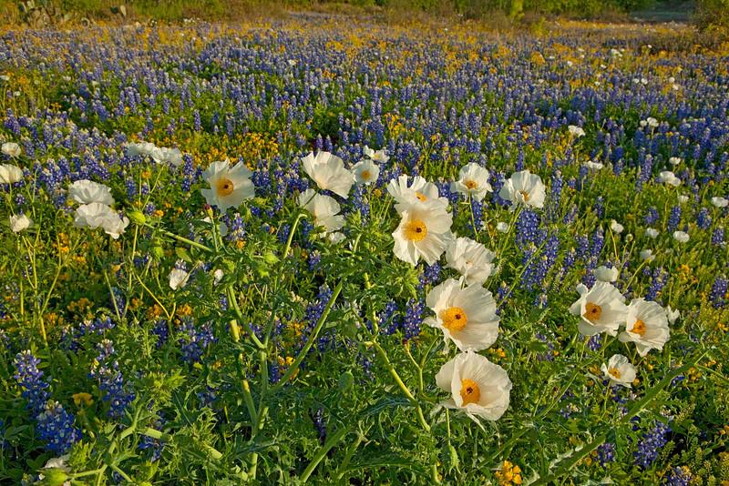 Texas wildflowers 728