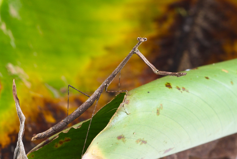 American Grass Mantis, genus Thesprotia, from Belize.