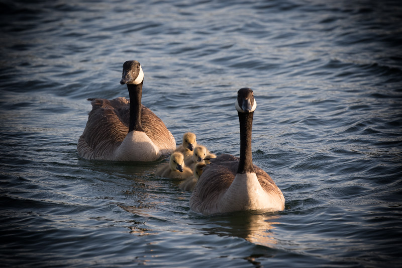 Baby Geese 53-Edit.jpg