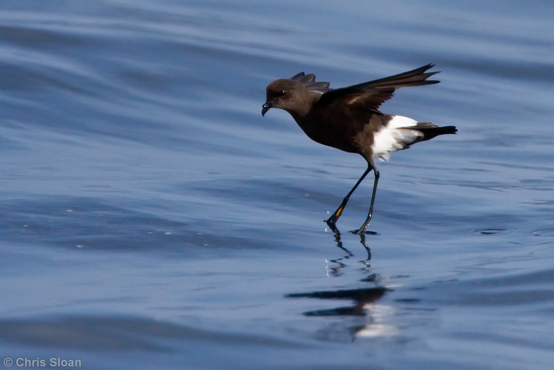 Wilson's Storm-Petrel adult at Gulf Stream pelagic off Hatteras, NC (06-03-2010) - 982-Edit