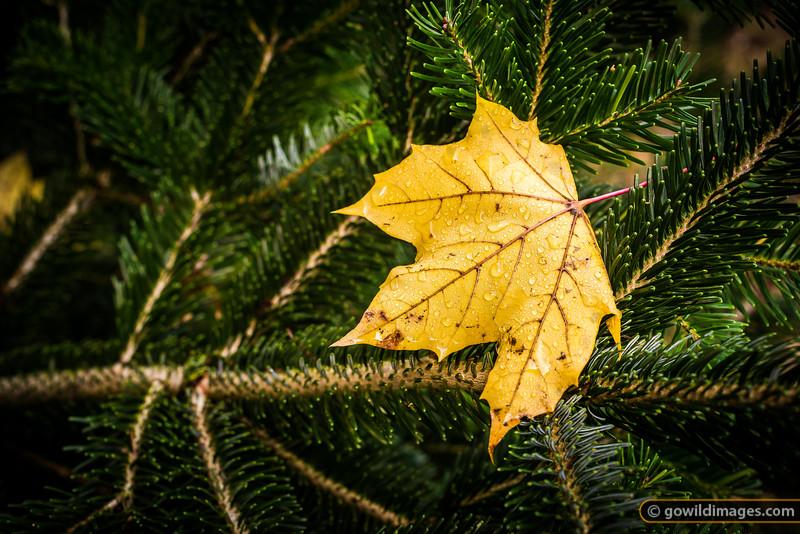 Norway Maple leaf, Pirianda Garden, Dandenongs