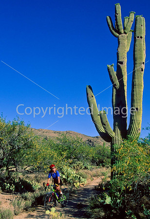 Mountain Biker on Cactus Forest Trail in Saguaro Nat'l Park