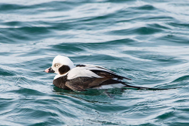 Long tailed duck.jpg