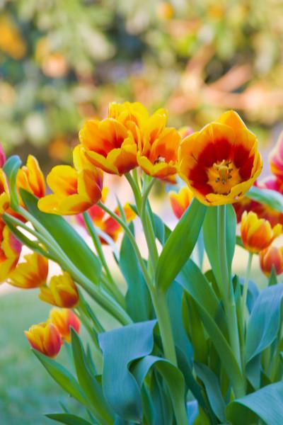 Tulips outdoor_18.jpg