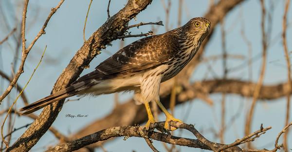 Juvenille Hawk_DWL1723.jpg