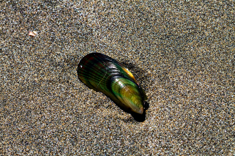 Green Shell on Black Sand