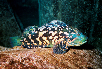 Rock Greenling