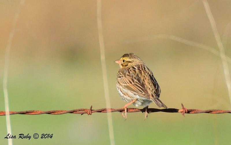 Savannah Sparrow - 12/29/2014 - Rangeland Road