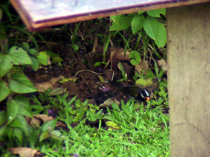 Orange-billed Sparrow at Rancho Naturalista Costa Rica 2-12-03 (50898201)