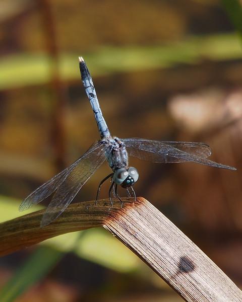 Little Blue Dragonlet, male