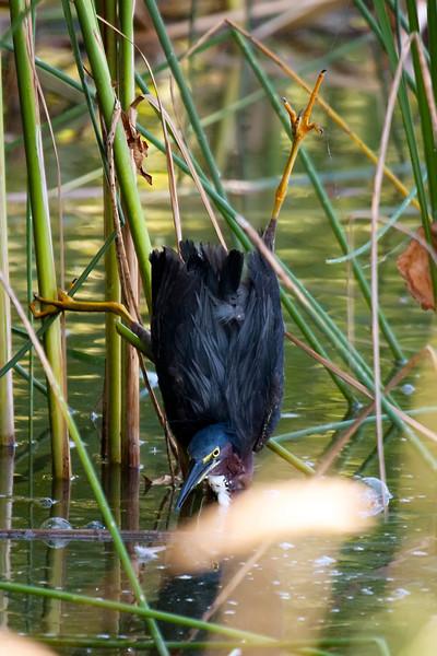 Distressed Green Heron