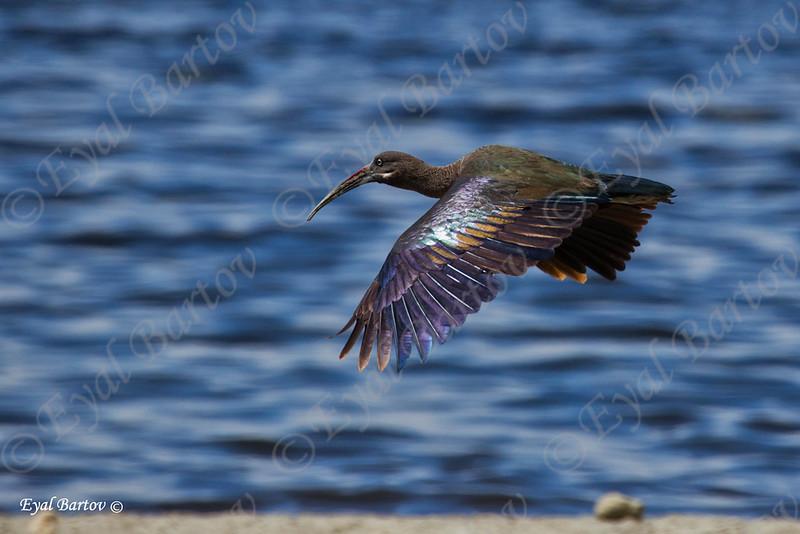 Hadada ibis, Bostrychia hagedash