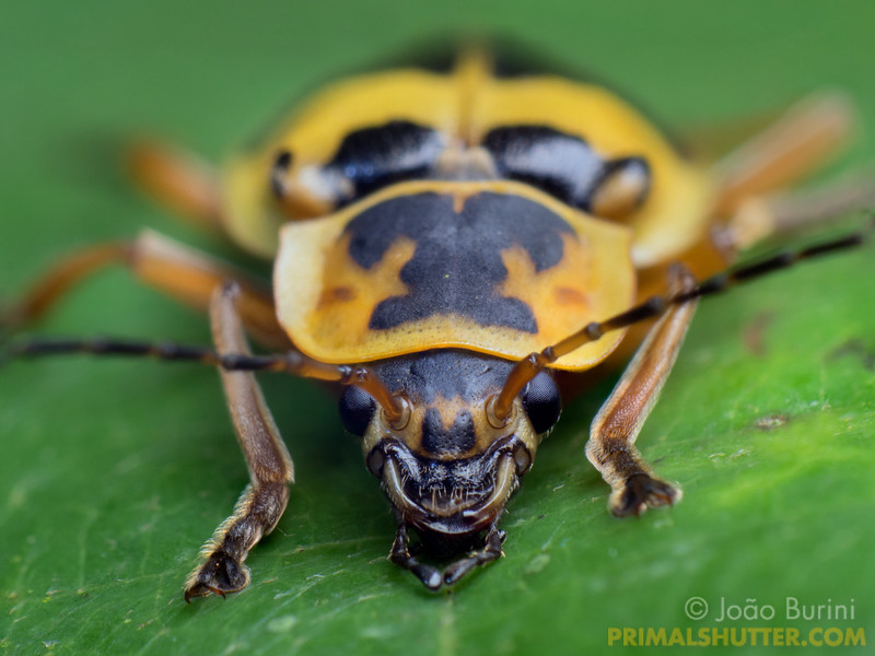 Portrait of a yellow soldier beetle