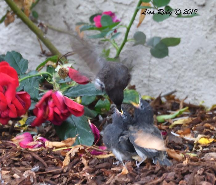 Bad photo of Black Phoebe feeding fledgling - 6/18/2019 - Sabre Springs Backyard