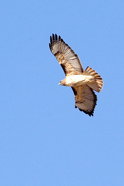 Hawk - Red-tailed - Bosque Del Apache NWR - NM