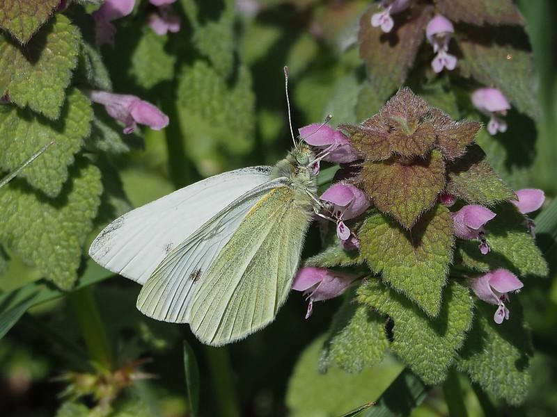 Cabbage White, male on Purple Deadnettle