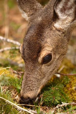 Black-tailed deer  (Odocoileus hemionus columbianus) doe in Olympic National Park, WA. © 2006 Kenneth R. Sheide