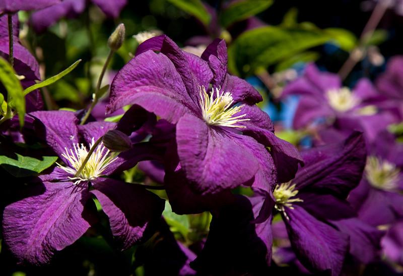 purple_clematis.jpg