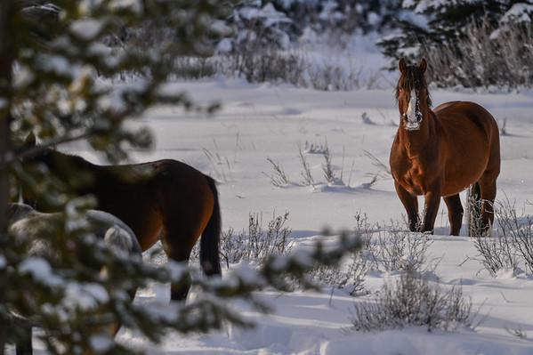 12 2013 Dec 11 Alberta Wild Horses After Heavy Snows*^