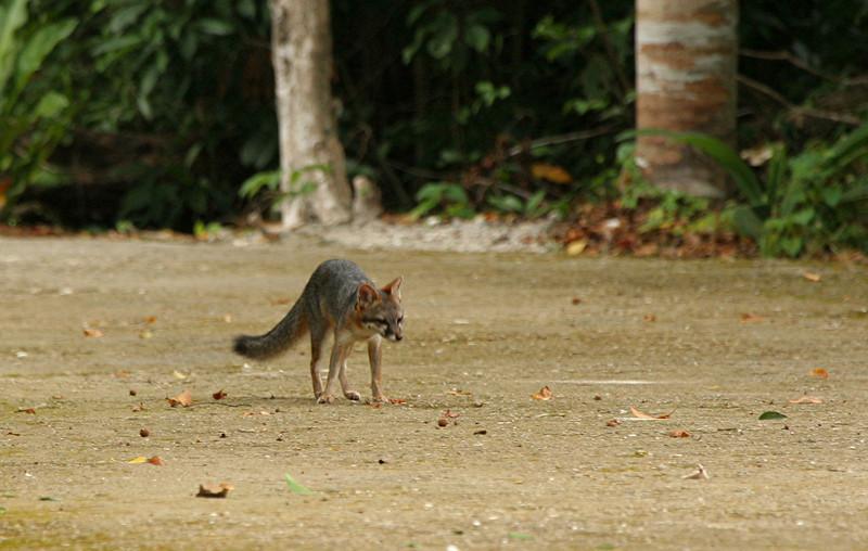 Gray Fox - Mexco