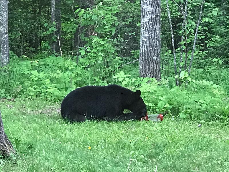 Black Bear at Skogstjarna Carlton County MNIMG_5615.jpg