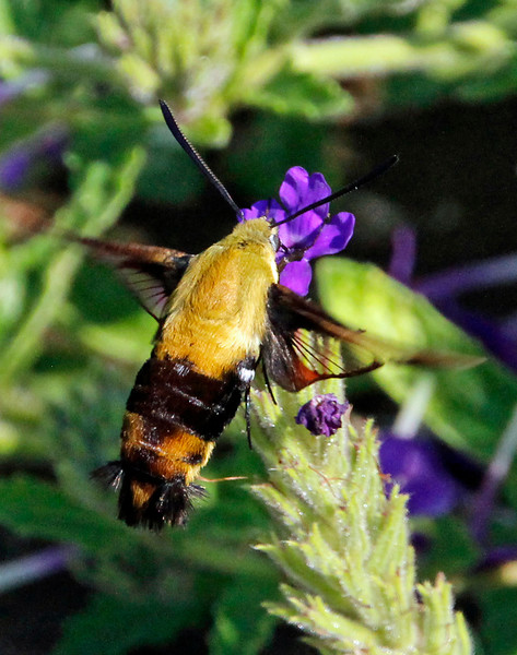 Hummingbird Moth 4