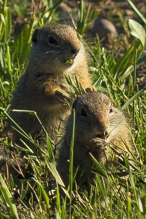 Uinta Ground Squirrels