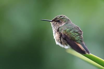 Vulcano Hummingbird