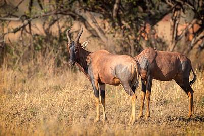 Kuantilope (Hartebeest)