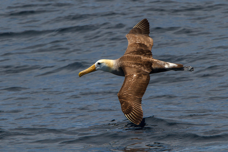 Waved Albatross at between Espanola and San Cristobal, Galapagos, Ecuador (11-21-2011) - 711.jpg