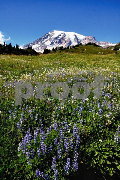 Wild flowers are abundant in late summer above Paradise at the base of Mt. Rainier, WA. 9946