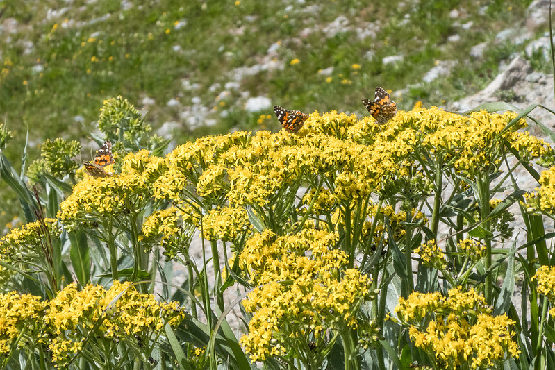 Wildflowers and butterflies at Cottonwood Pass