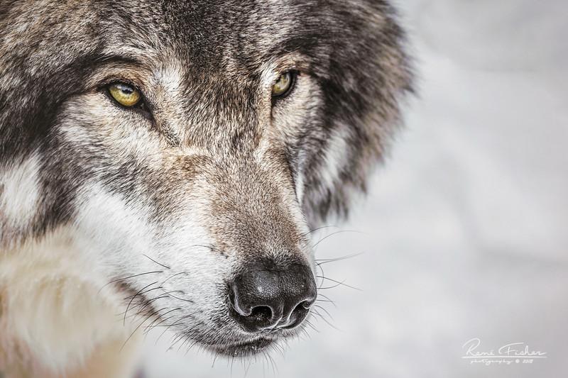 ReneFisher_Wolf_Canvas_16x24_Animal_0726_19.jpg