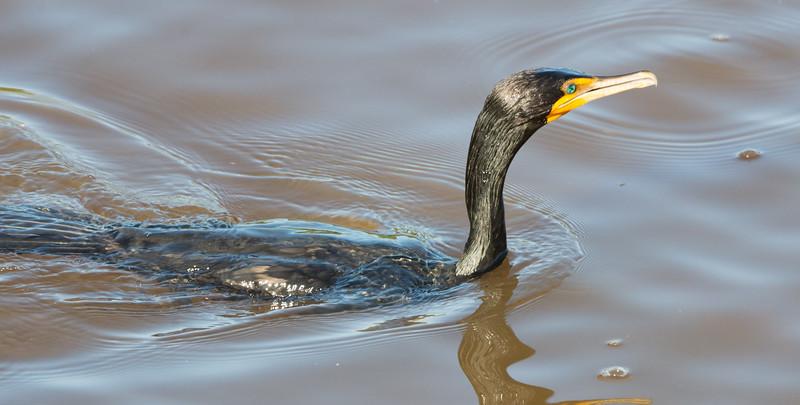 19-Sept North America Birds-8756.JPG