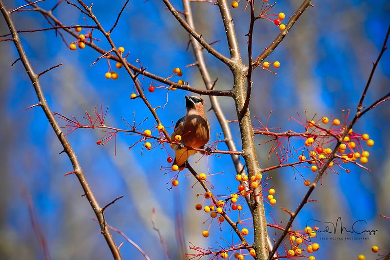 Cedar Waxwing 2.jpg