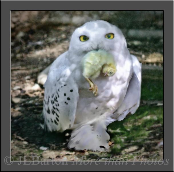 Swnoy owl feeding