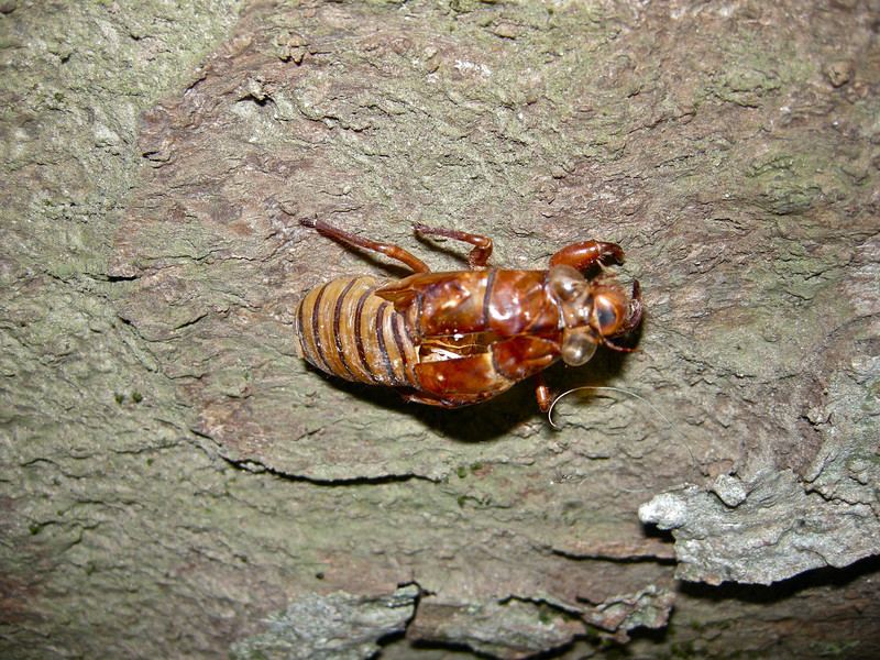 Cicada Exuveae on tree